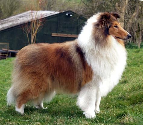 7297 best Collies images on Pinterest | Rough collie