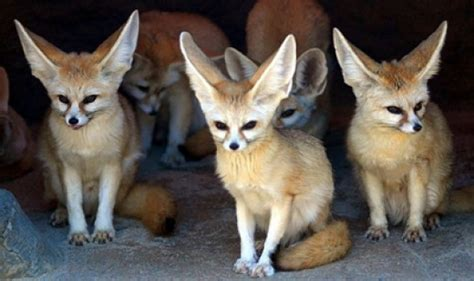 The Fennec Fox, One of the Cutest Animal from Desert