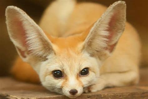 How Much Do Fennec Foxes Cost? And Finding A Breeder